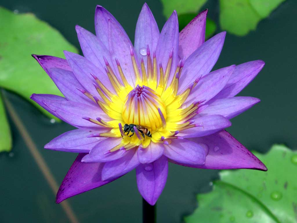 Excellent beautiful lotus flower ideas wedding and flowers cool beautiful lotus flower gallery wedding and flowers ispiration izmirmasajfo Images