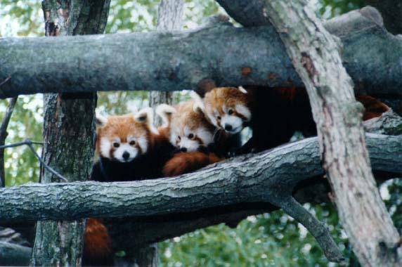 red panda babies. Red Pandas like Sparkler,